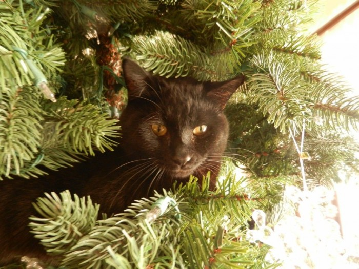 black cat peeking out of my Christmas tree
