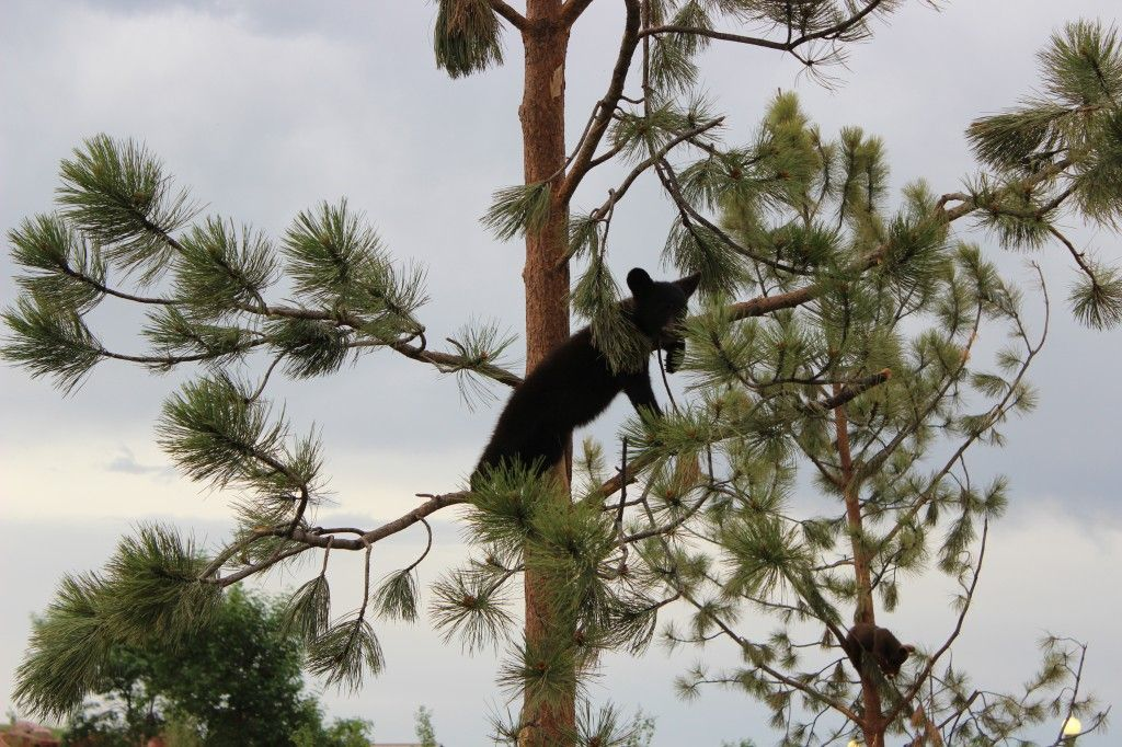 I swear these bears are part monkey. They had us laughing at their antics. And, yes, they do push each other off the trees.
