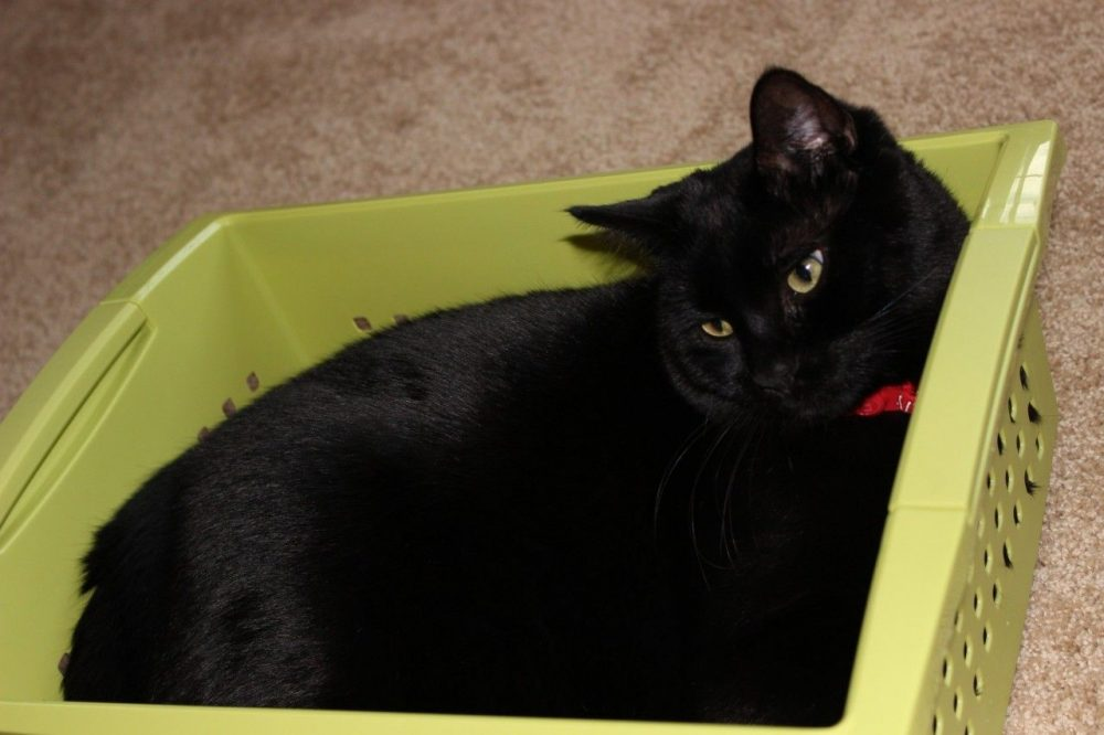 black cat in a plastic storage box