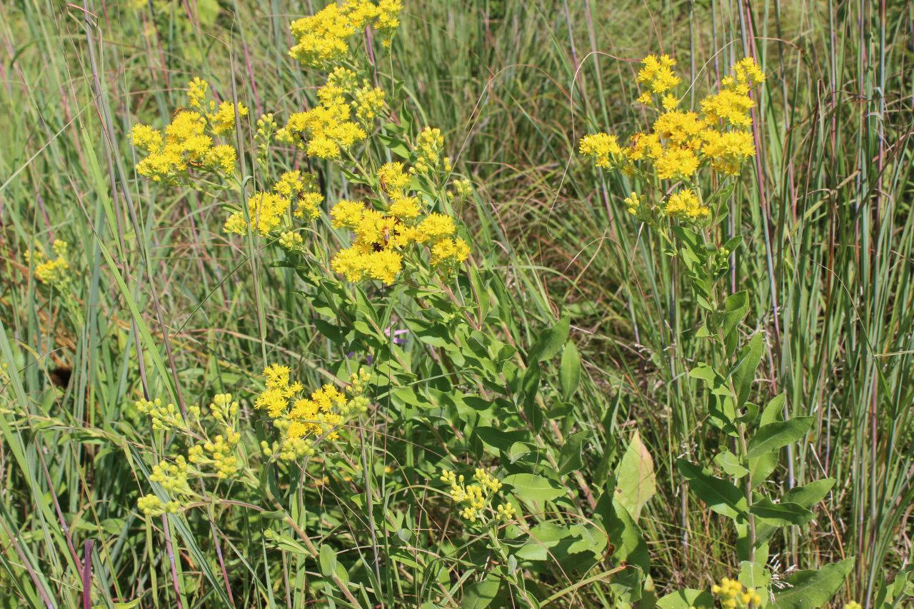 Goldenrod in a field.