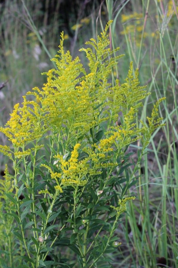 Ragweed – How to identify the difference between Ragweed and Goldenrod -