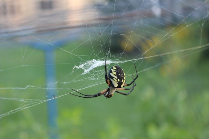 Black and yellow garden spider. (argiope, aurantia)