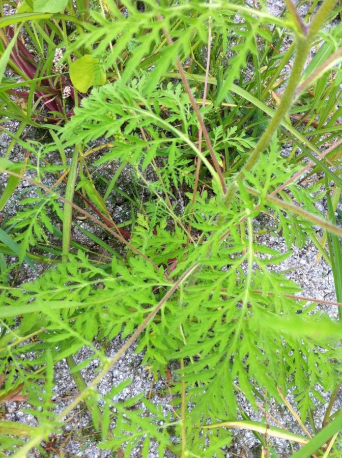 Ragweed leaves have a kind of fern like appearance.