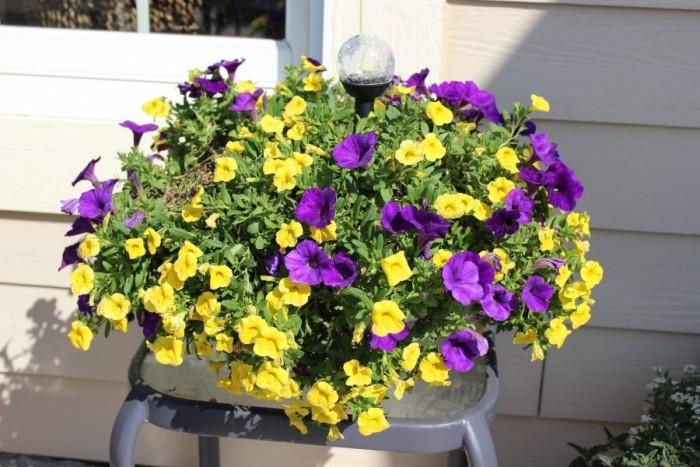 purple petunias and yellow million bells