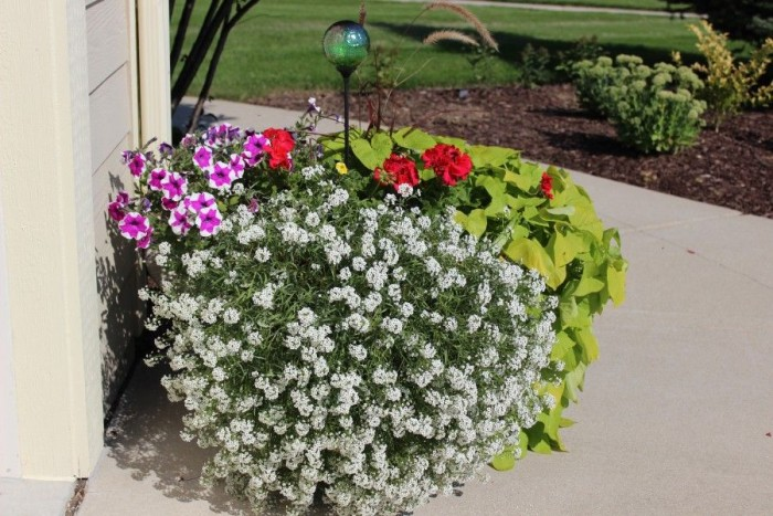 This pretty planter survives a sunny location. With geraniums, petunias, alyssum and sweet potato vine.