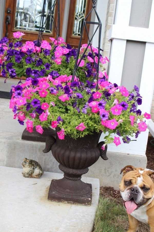 purple and pink petunia planters