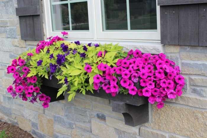 A beautiful window box with purple and pink petunias and sweet potato vines