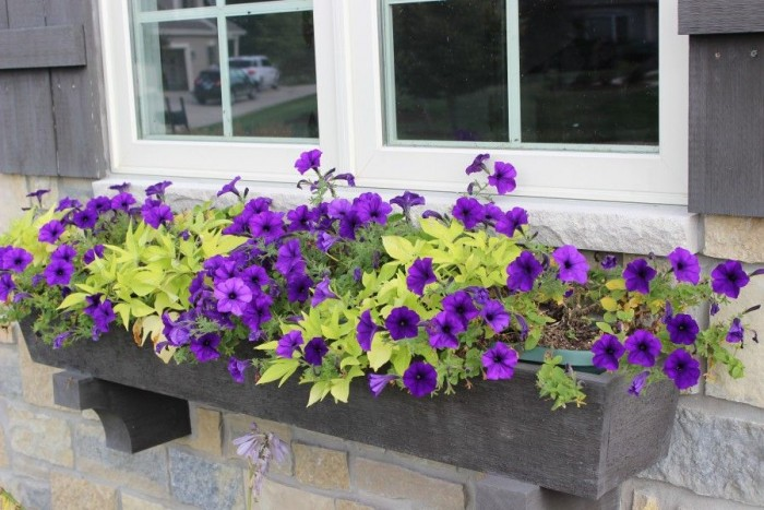 Window box planter with purple petunias and green sweet potato vine.