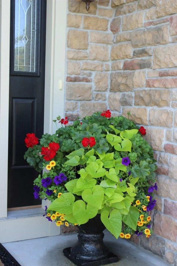 A beautiful front door planter made up of red geraniums, purple petunias, yellow million bells and a pretty green sweet potato vine.