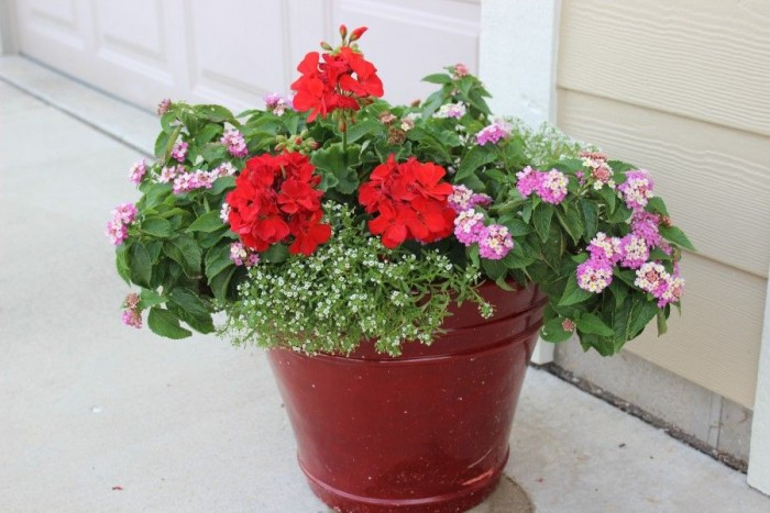 Red pot with red geraniums and white alyssum.