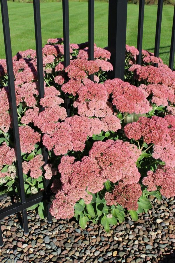 autumn sedum growing through a black iron fence