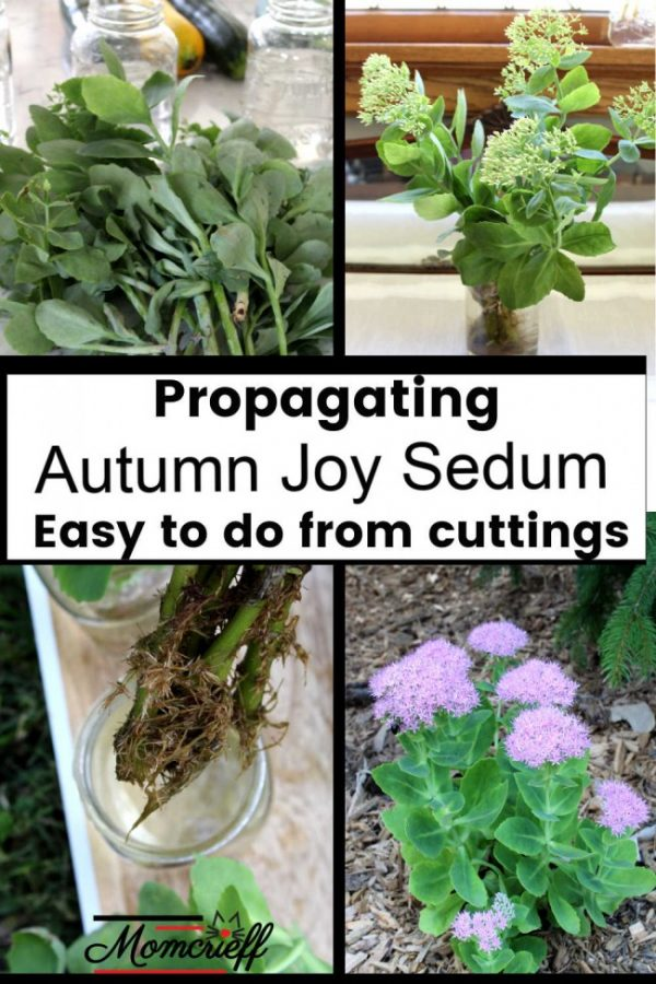 a collage of pictures showing autumn joy propagating