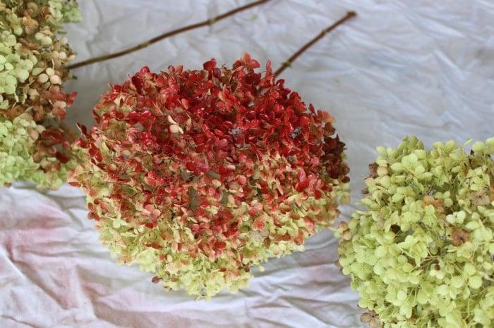 Starting to spray paint my red hydrangeas.