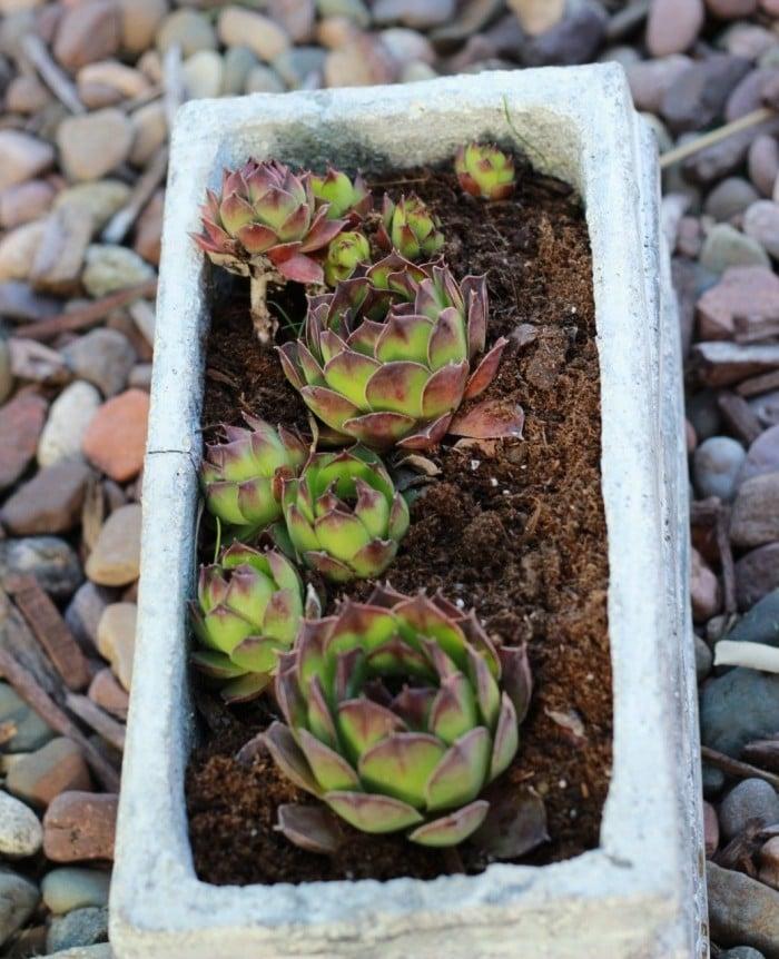 Planting Succulents Indoors Diy