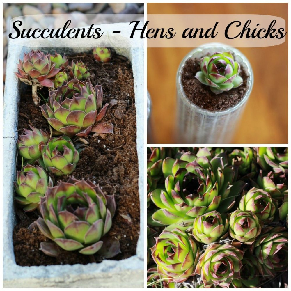 Bring succulents indoors hens and chicks momcrieff - Best succulents for indoors ...