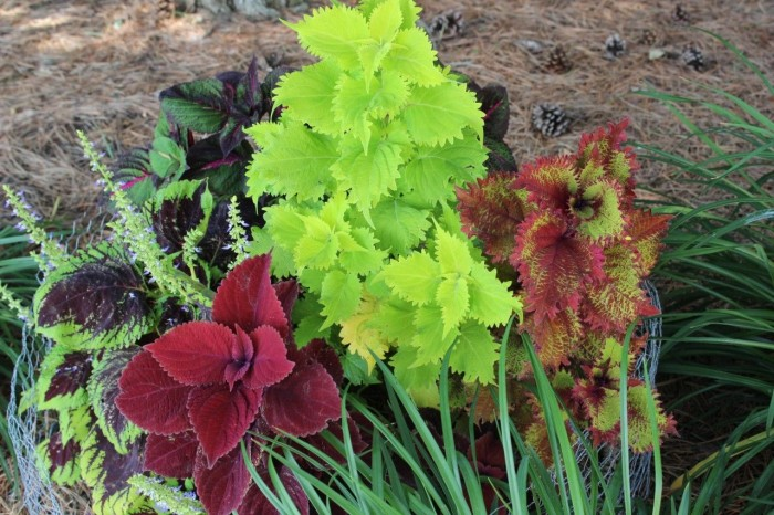 Pretty coleus.  Beautiful shade plants with bright colored leaves.