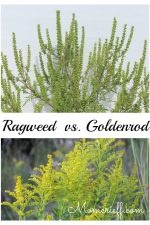 Ragweed Vs. Goldenrod. See the difference so you can identify Ragweed easily.