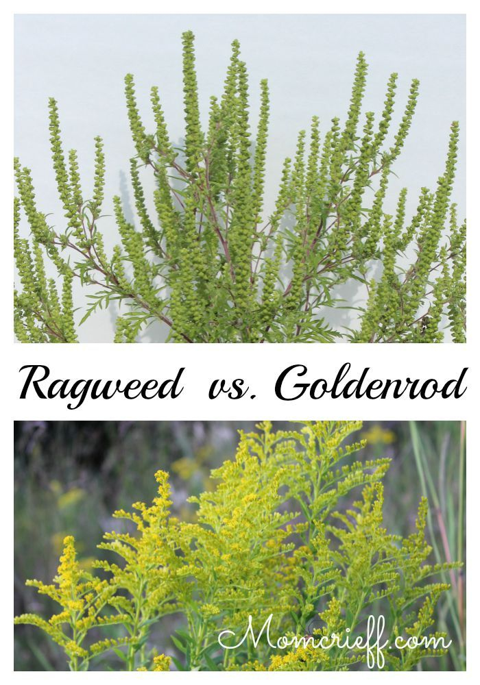 Ragweed Vs Goldenrod See The Difference So You Can Identify Easily