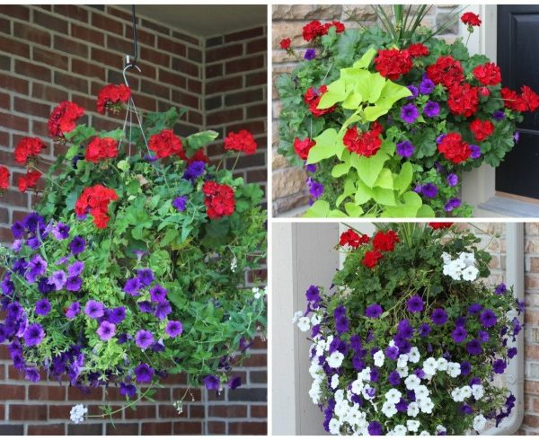 Bright container gardens with red and purple flowers and bright green potato vine.