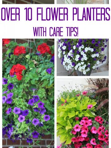 Bright red and purple flower planters