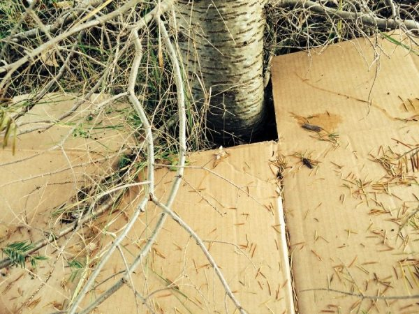 Putting cardboard under trees to prevent weeds
