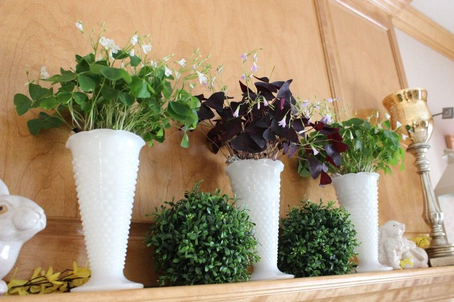 Shamrock plants (Oxalis) on my mantle for St. Patrick's Day.