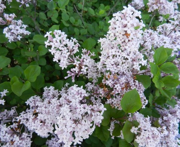 A closeup of light purple colored lilacs