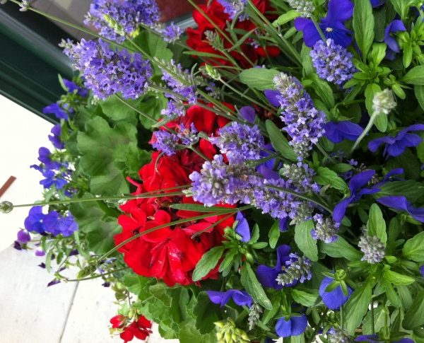 Red geraniums and purple flowers in a planter on Mackinac Island.