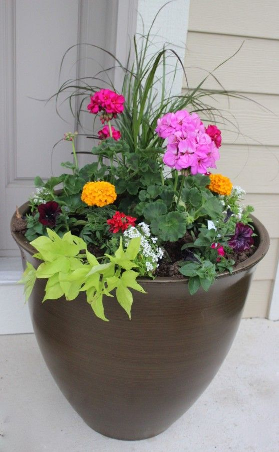 Finished container garden in the spring with geraniums, marigolds, alyssum, sweet potato vine and petunias.
