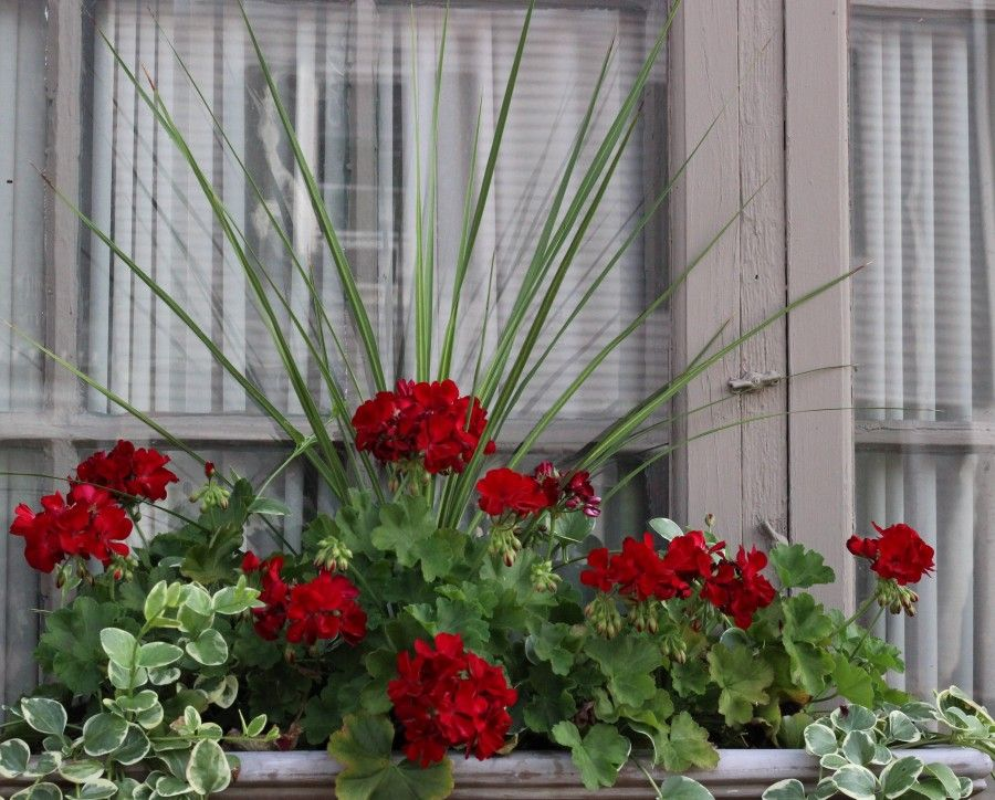 Red geraniums and green draping vines.