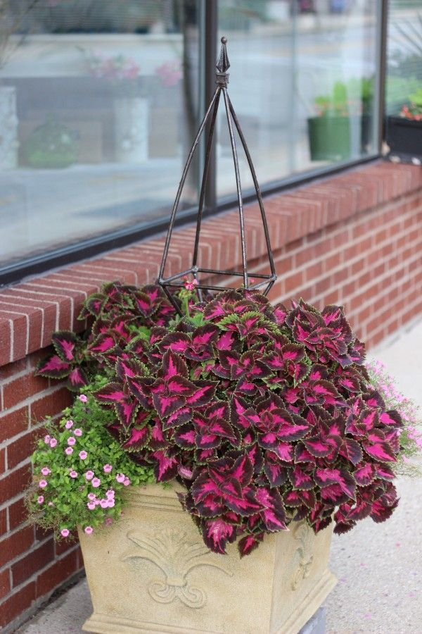Pretty planter & container ideas with coleus plant