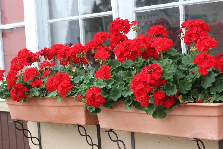 Beautiful red geranium window boxes.