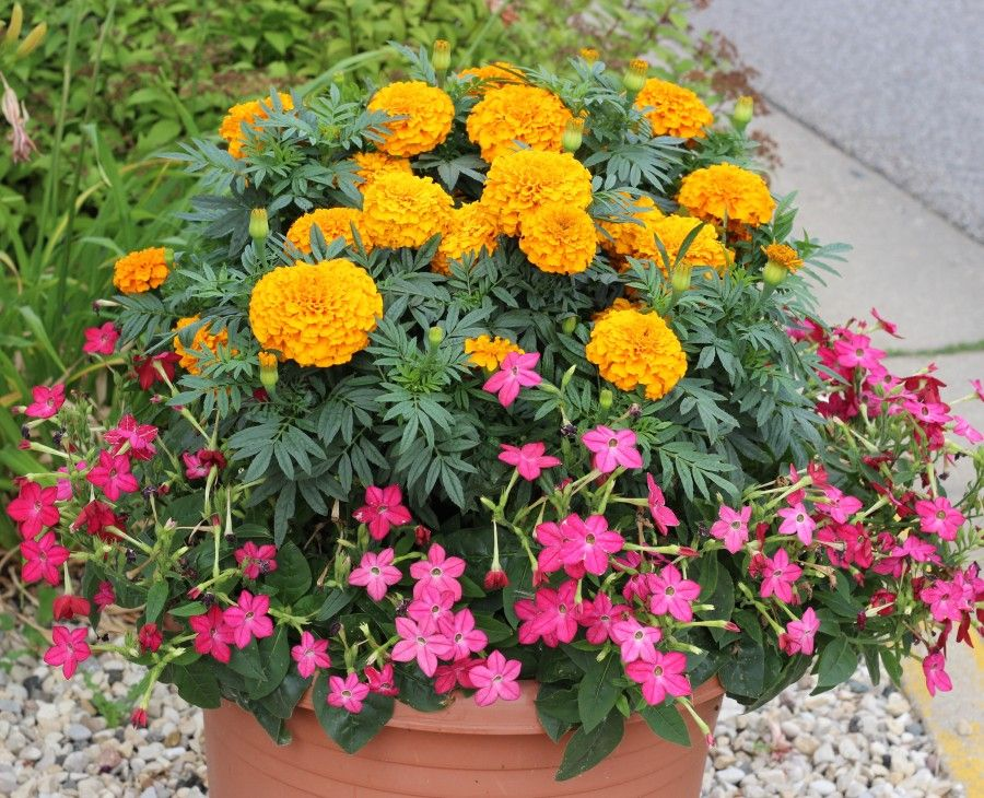 Pretty planter with orange marigolds and pink flowers