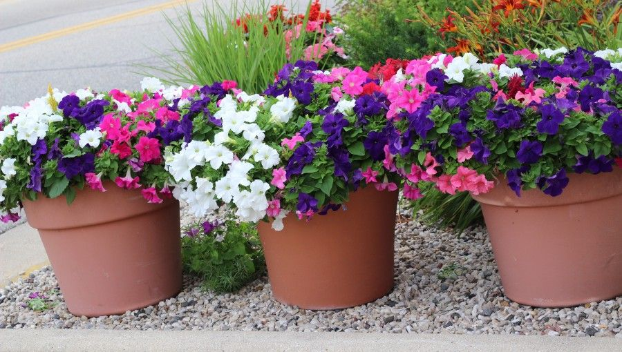 Pretty planter & containers with petunias in various colors