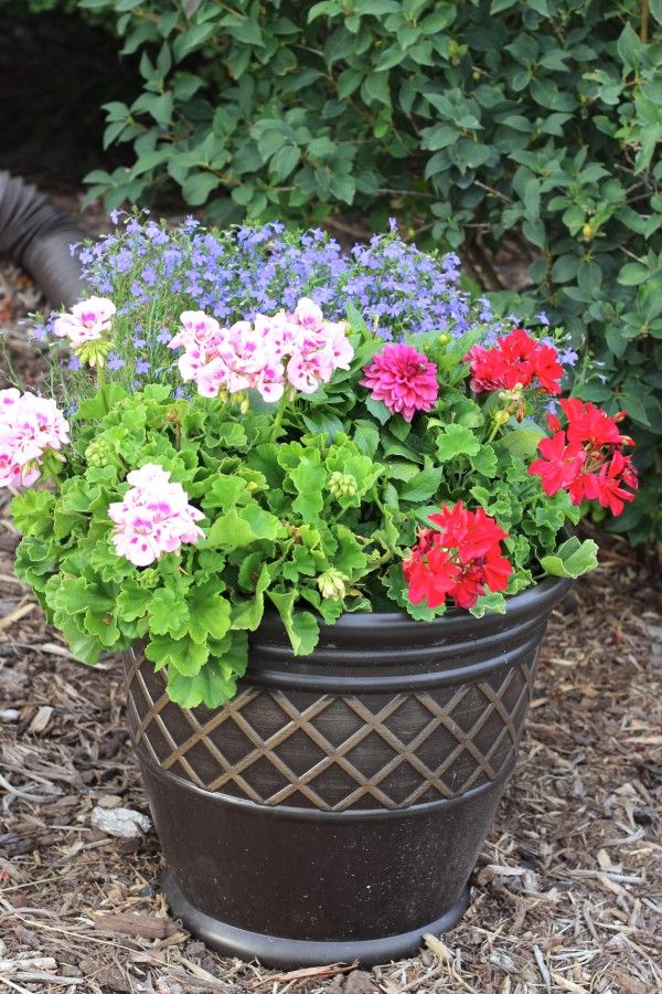 Flower planter with multiple colors of geraniums and accented with a plant with small purple flowers.