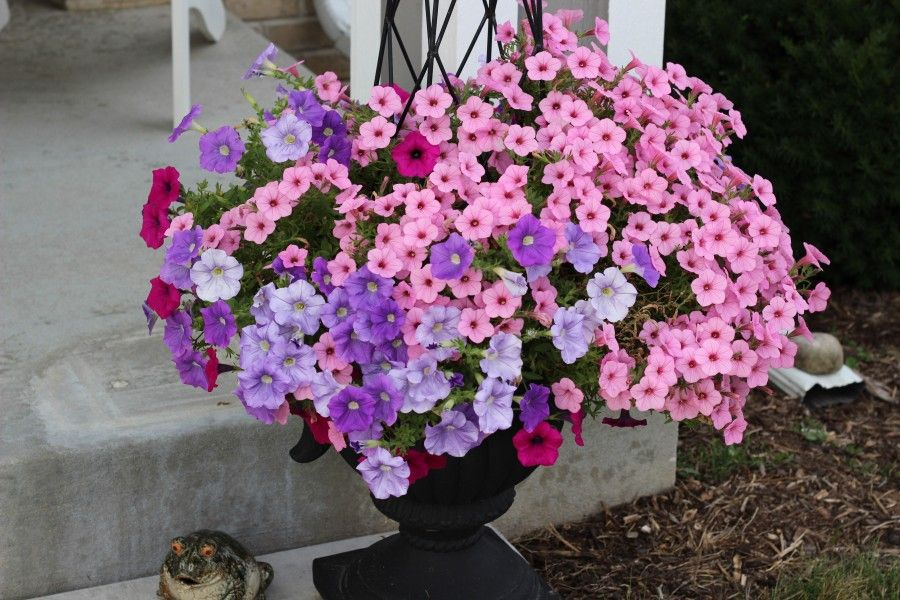 Petunia planter with pink and various purple petunias.