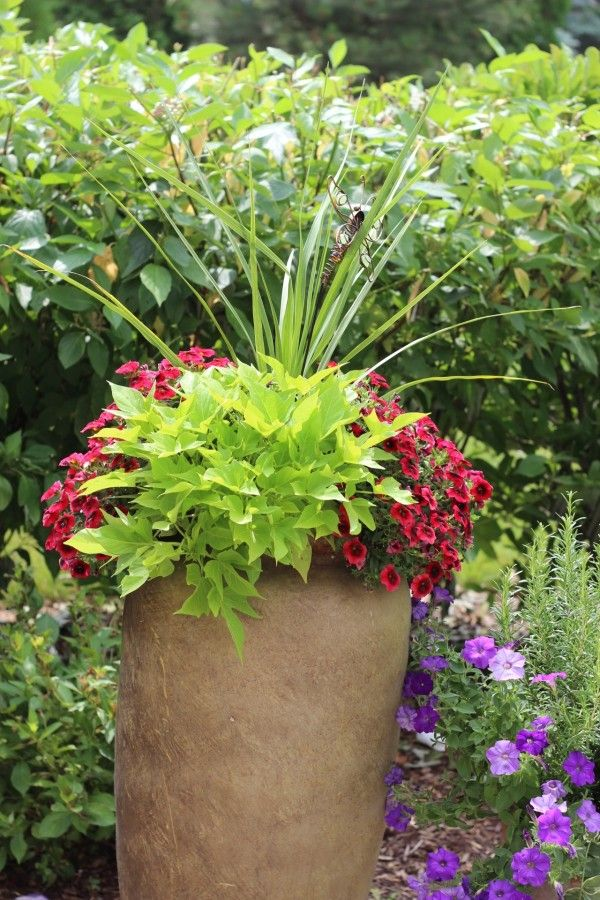 terra cotta planter with red petunias, and lime green sweat potato vine