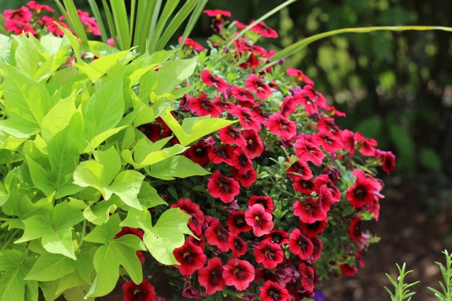 A closeup of a beautiful summer flower planter with red petunias and lime green sweet potato vine.