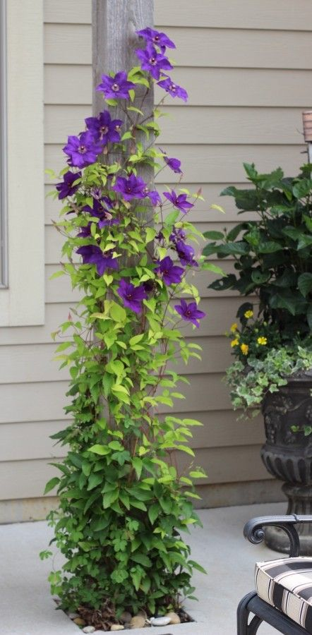 A purple clematis growing up a post on a back porch.