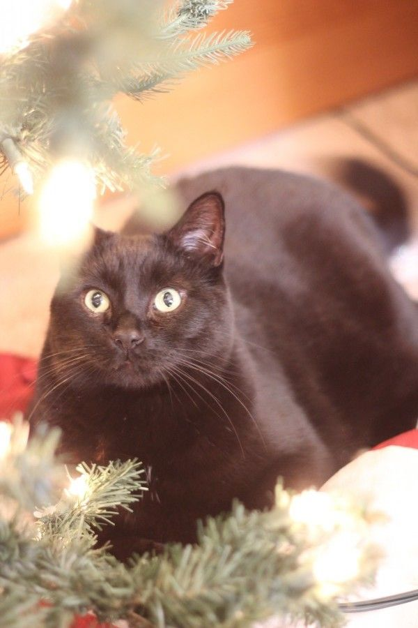 Raji my black cat under the Christmas tree