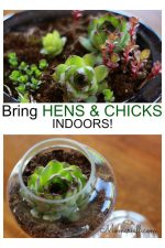 hens and chicks succulents in small containers