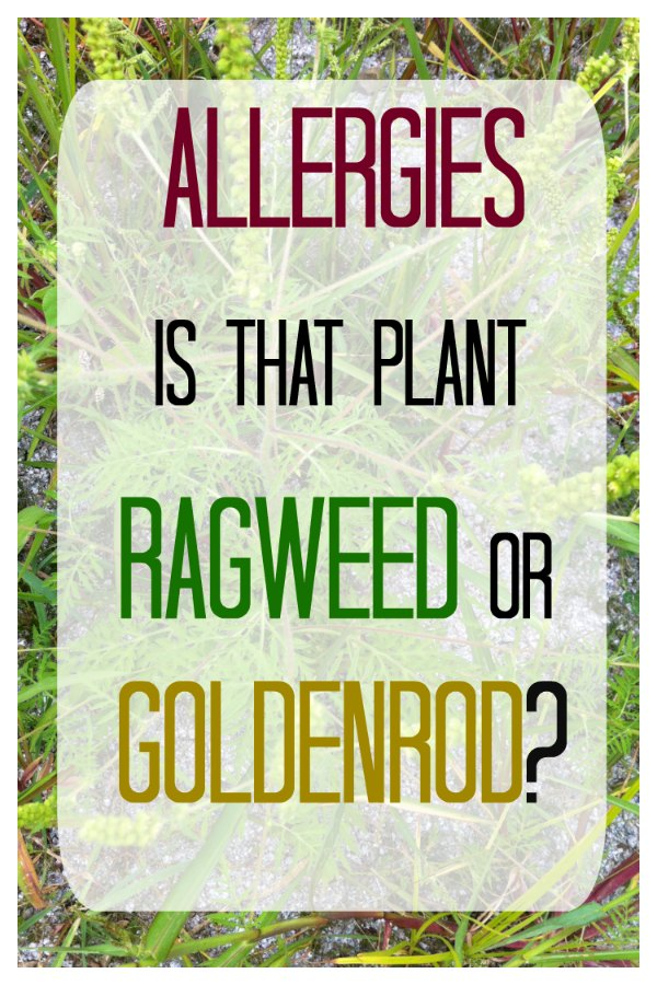 Ragweed – Identifying Ragweed vs. Goldenrod
