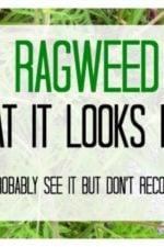 image of ragweed