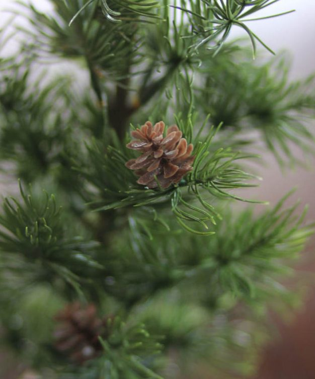 Small pine tree at a fantastic price
