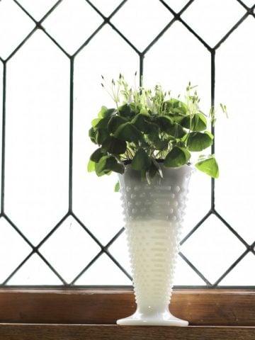 A shamrock plant in a white milkglass vase