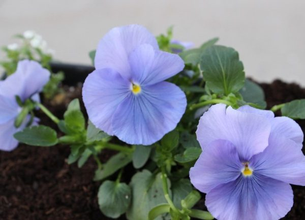 cute light purple pansies
