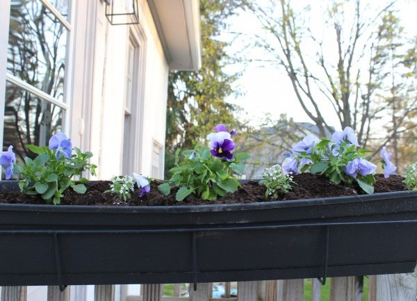 the planted spring planter with pansies, dusty miller and allysum.