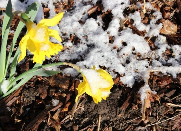 Snow weighing down the daffodil flowers.