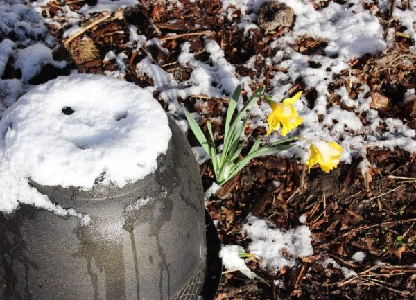 snow covered upside down planter beside two daffodils