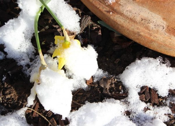 Daffodiles drooping from the snow on the flowers.